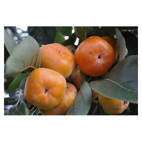 Asian Persimmon - Seeds