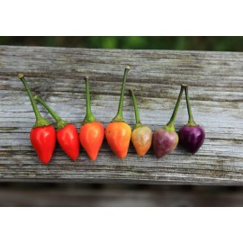 Bolivian Rainbow - Pepper Seeds