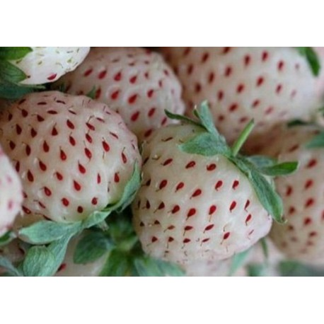 White Alpine Strawberry - Seeds