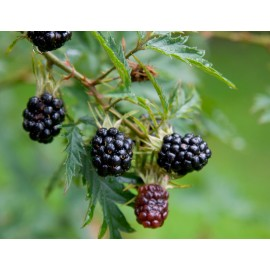 Wild Blackberry - Seeds