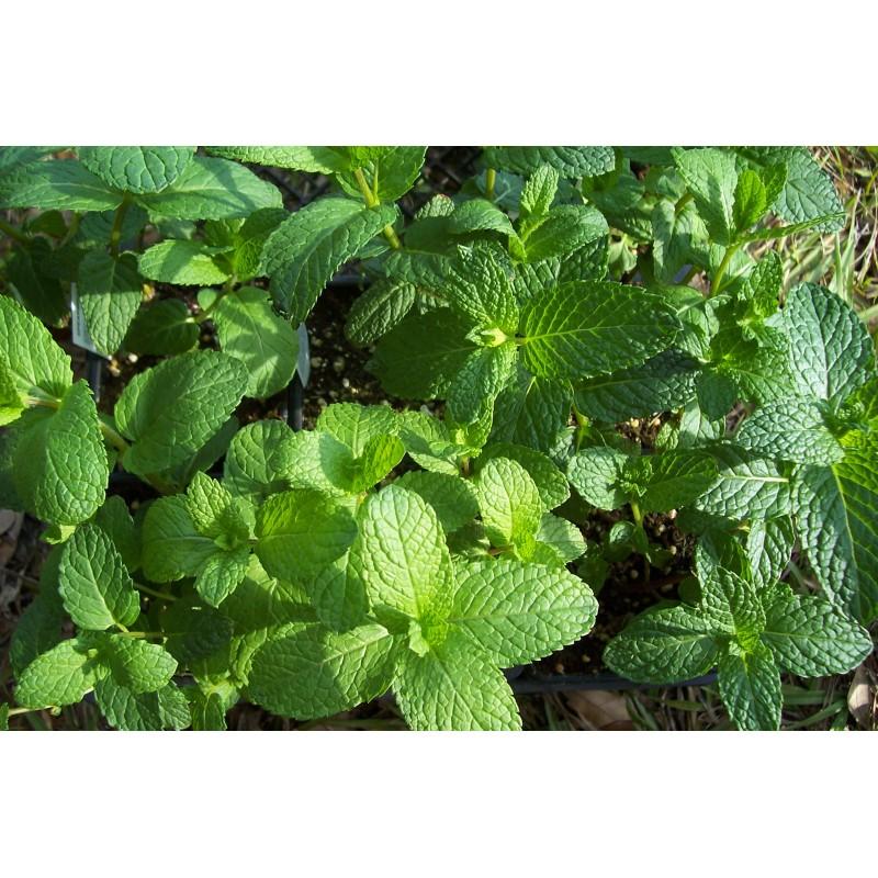 Mint Seeds Grow Peppermint Herb Seeds At Seedsarea