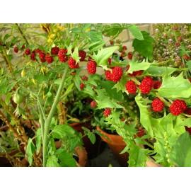 Chenopodium capitatum - Seeds