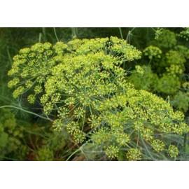 Anethum - Seeds