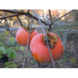 Asian Persimmon (Apple Taste) - Seeds
