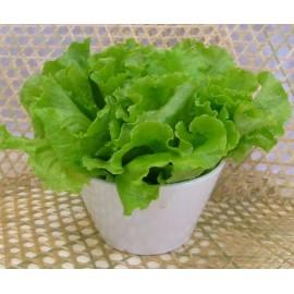 Lettuce - Seeds