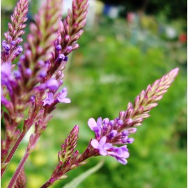 Vervain - Seeds