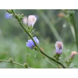 Cichorium / Chicory - Seeds