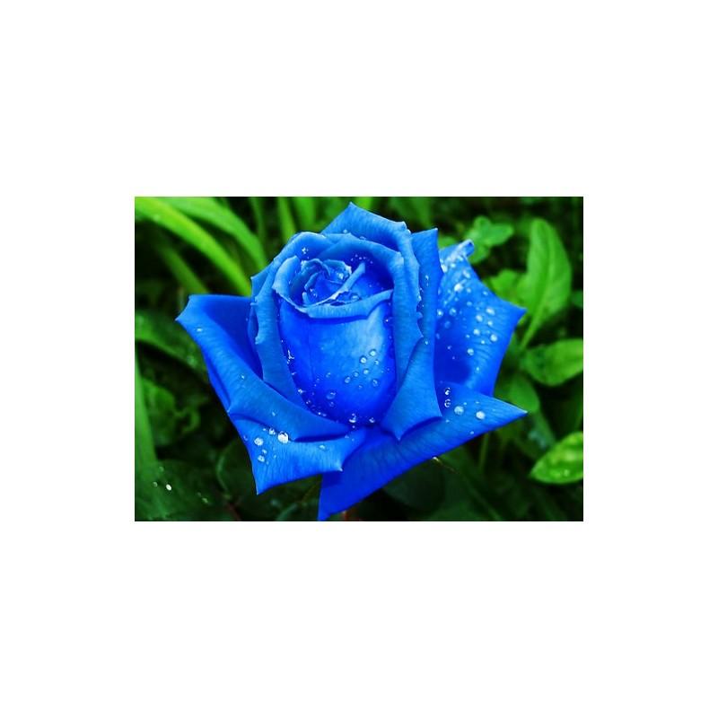 Rose Seeds Blue Rose Seeds Buy Rose Seeds