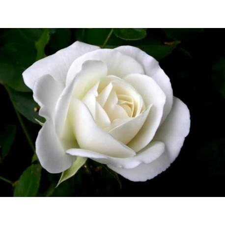 White Rose - Seeds