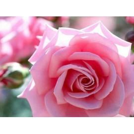 Pink Rose - Seeds