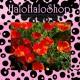 Eschscholzia / California poppy - Seeds