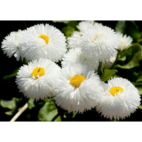 Bellis (white)- Seeds