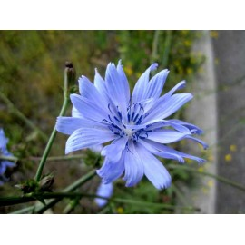 Chicory - Seeds (blue)