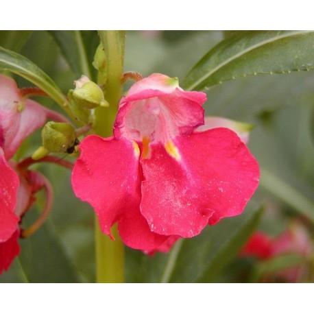Impatiens Seeds Impatiens Balsamina Flower Seeds Annual Flower Seeds