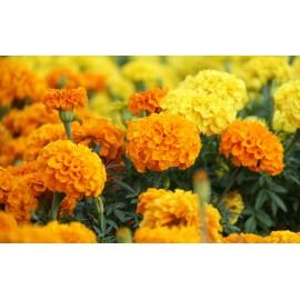 Marigold - Seeds