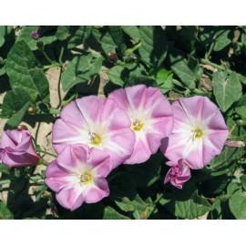 Convolvulus - Seeds (Morning glory - seeds)