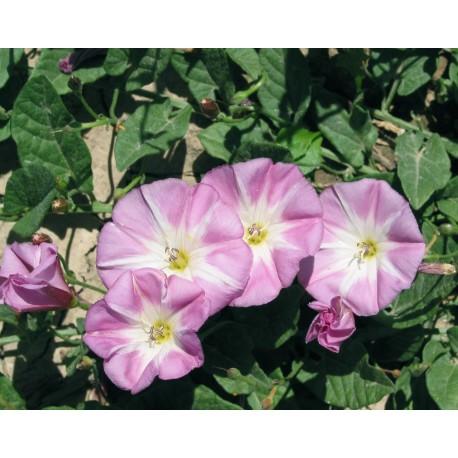 Convolvulus - Seeds