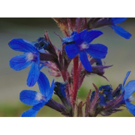Anchusa - Seeds