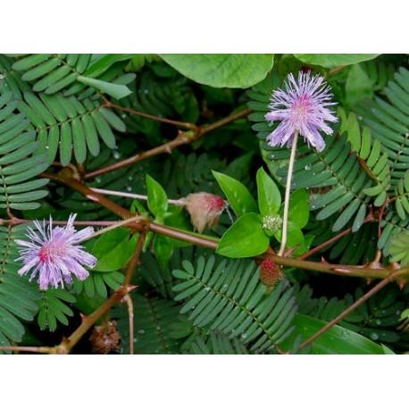 Mimosa Pudica - Seeds