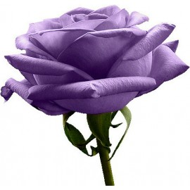 Purple Rose - Seeds
