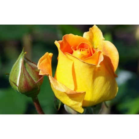 Yellow Rose - Seeds