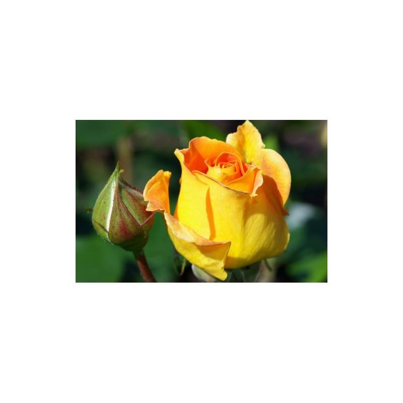 Yellow Rose Seeds For Gardening At Seedarea Buy Rose