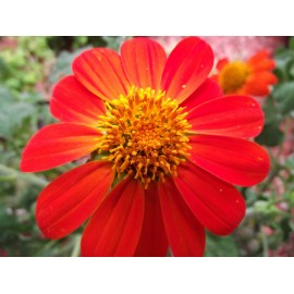 Mexican Sunflower / Tithonia - Seeds