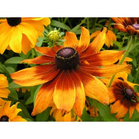 Rudbeckia - Seeds
