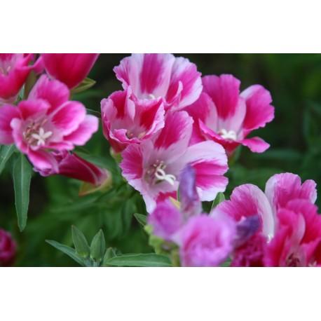 Clarkia - Seeds