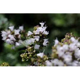 Oregano - Seeds (white)