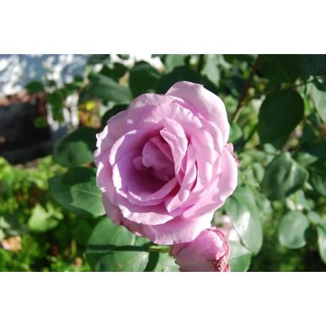 Climbing Rose (Light Blue) - Seeds