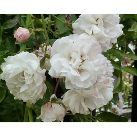 Climbing Rose (White) - Seeds
