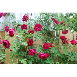 Climbing Rose - Seeds (Red)