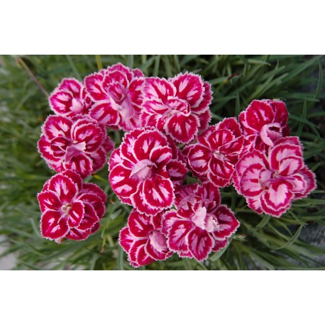 Dianthus (Mixed Color) - Seeds