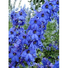 larkspur - seeds