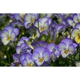 Viola - Seeds/ Pansy seed