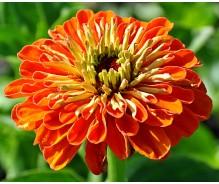 Zinnia - Seeds