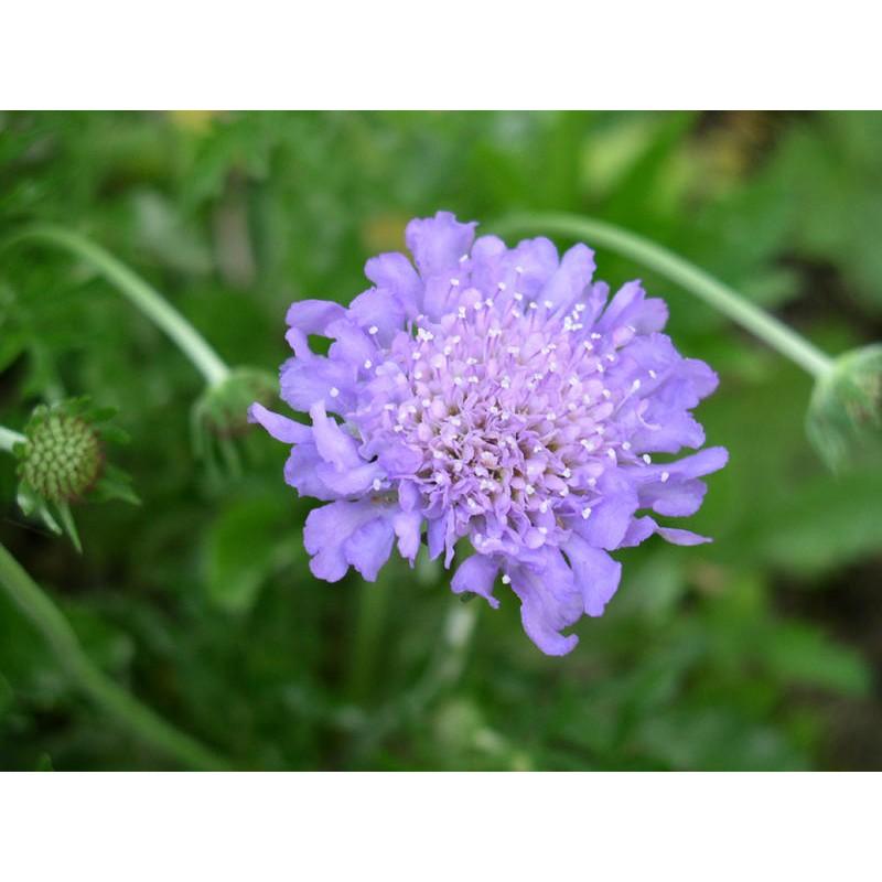 Scabiosa Seeds For Sale Pincushion Flower Perennial