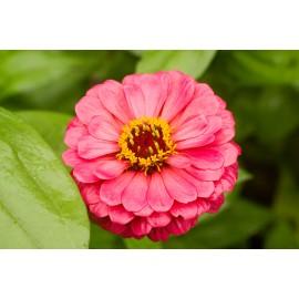 Zinnia - Seeds (Pink)