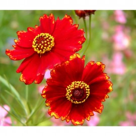 Coreopsis - Seeds