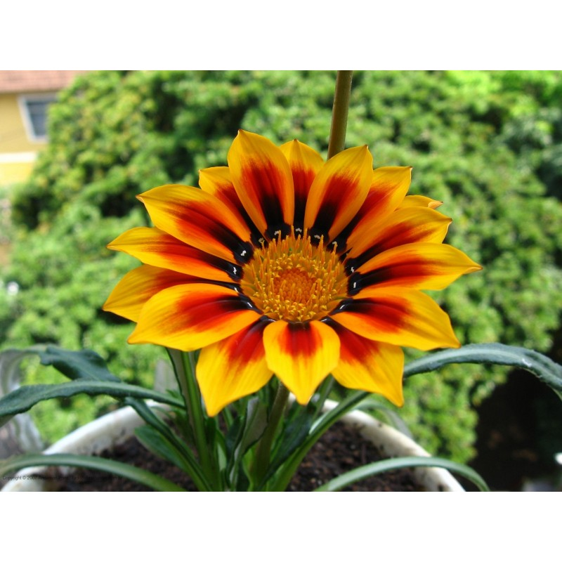 Gazania Seeds For Sale Annual Flower Seeds Mix Species