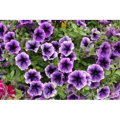 Garden Petunia - Seeds