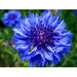 Cornflower - Seeds
