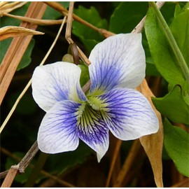 F1 Viola (Blue and White) - Seeds