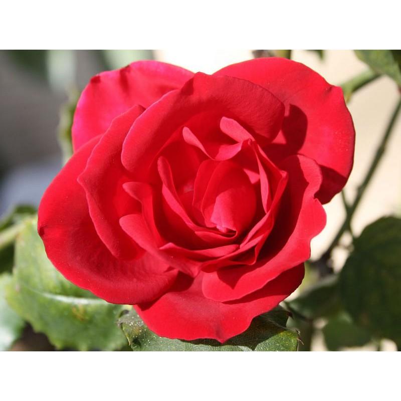 """Geschenk.-. Tribute /""""35 Rose Rosen Samen Red-Porple Seeds Gothic Gardening/"""""""