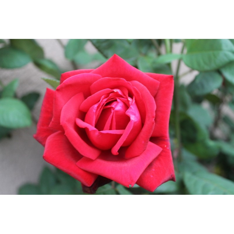 Red Rose Seeds Buy Red Rose Seeds Online Roses From