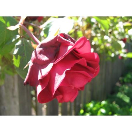 Climbing Rose - Seeds