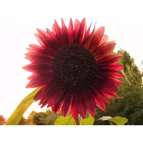 Helianthus / Sunflower - Seeds