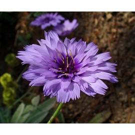 Catananche - Seeds