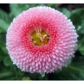 Bellis - Seeds